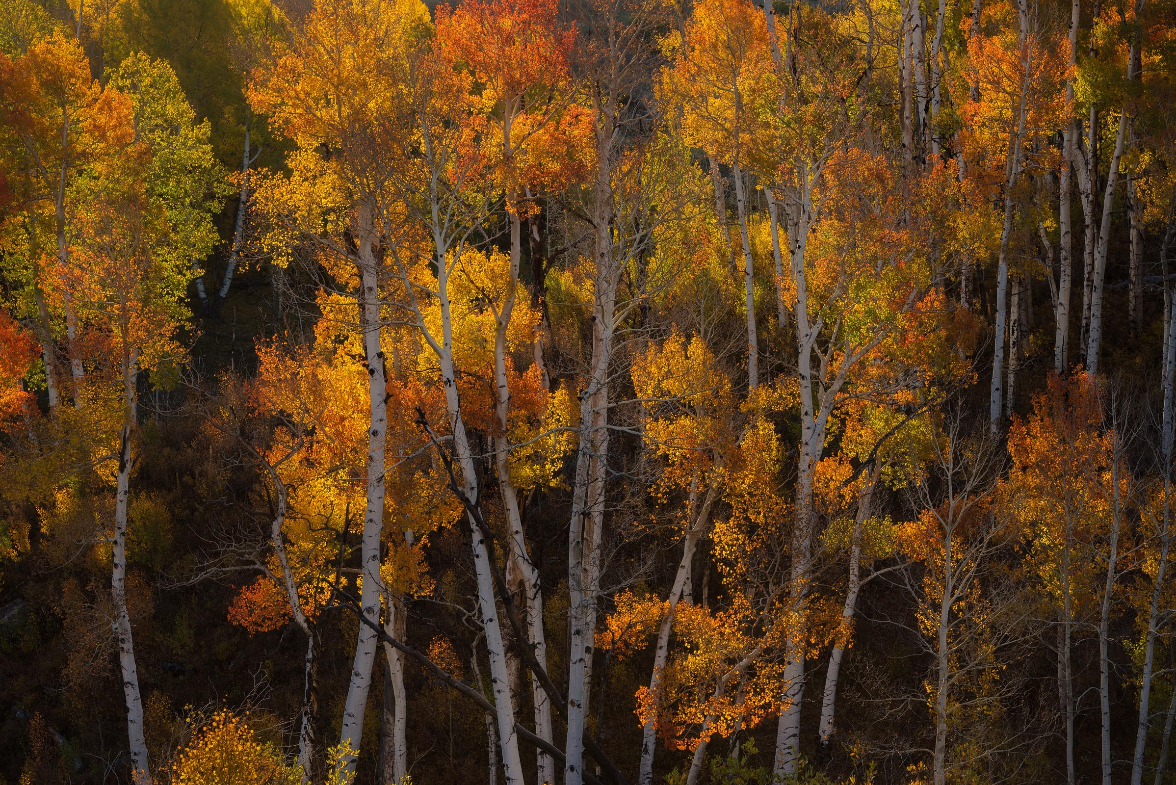 Photograph of Aspen Forest in San Juan Mountains, Colorado by Brent Goldman Photography