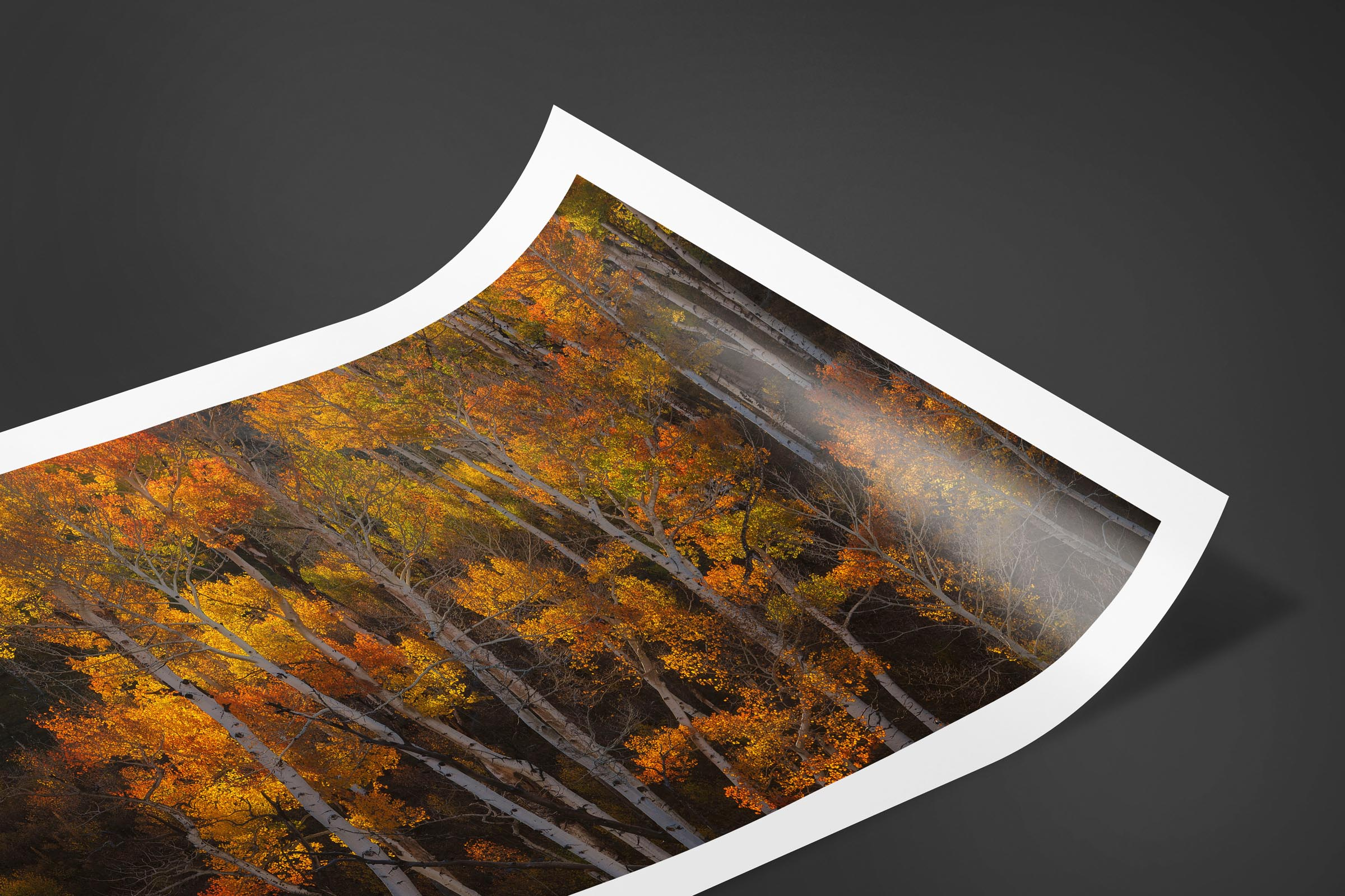 Fine art limited edition print of Aspen Forest in San Juan Mountains, Colorado by Brent Goldman Photography