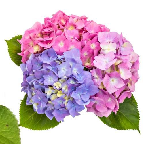 Most lavish Hydrangea in beautiful hues. Holland.