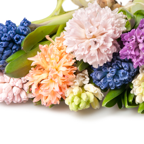 Fragrant Hyacinths in beautiful hues. Holland.
