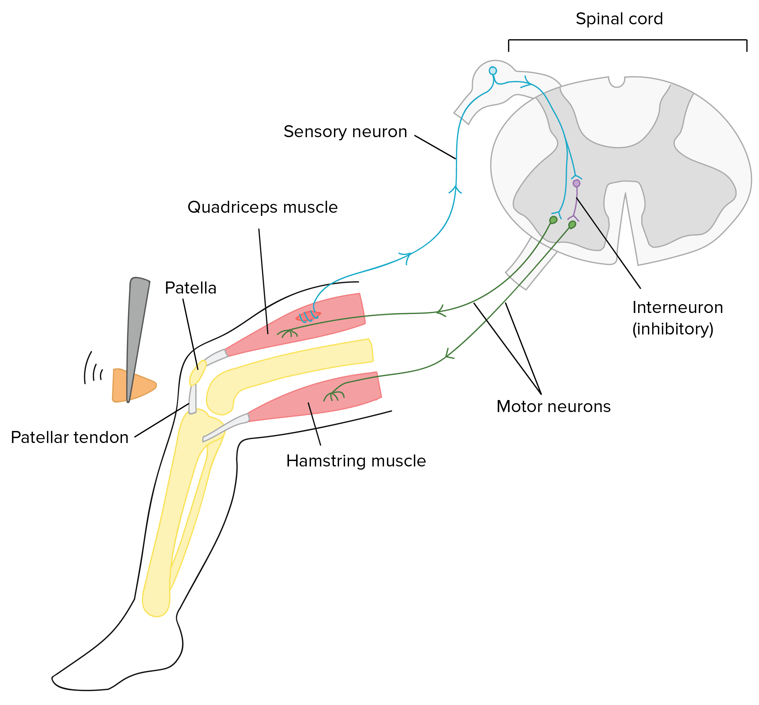 How muscle similation activates inhibitory interneurons using Knee-jerk reflex example