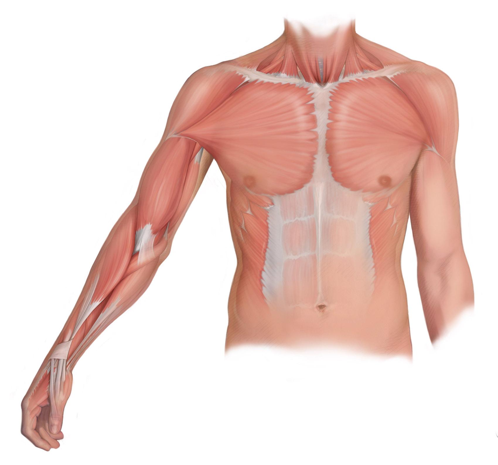 Torso and Upper Limb Muscles