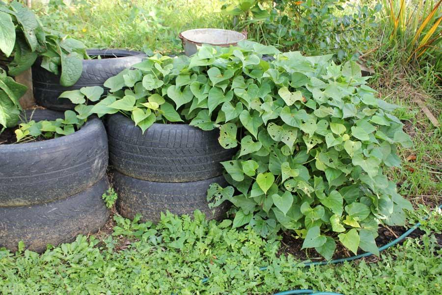 Kumara growing near a pile of tyres