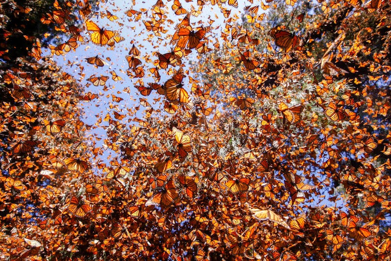 The Magical Monarch Butterflies in Mexico