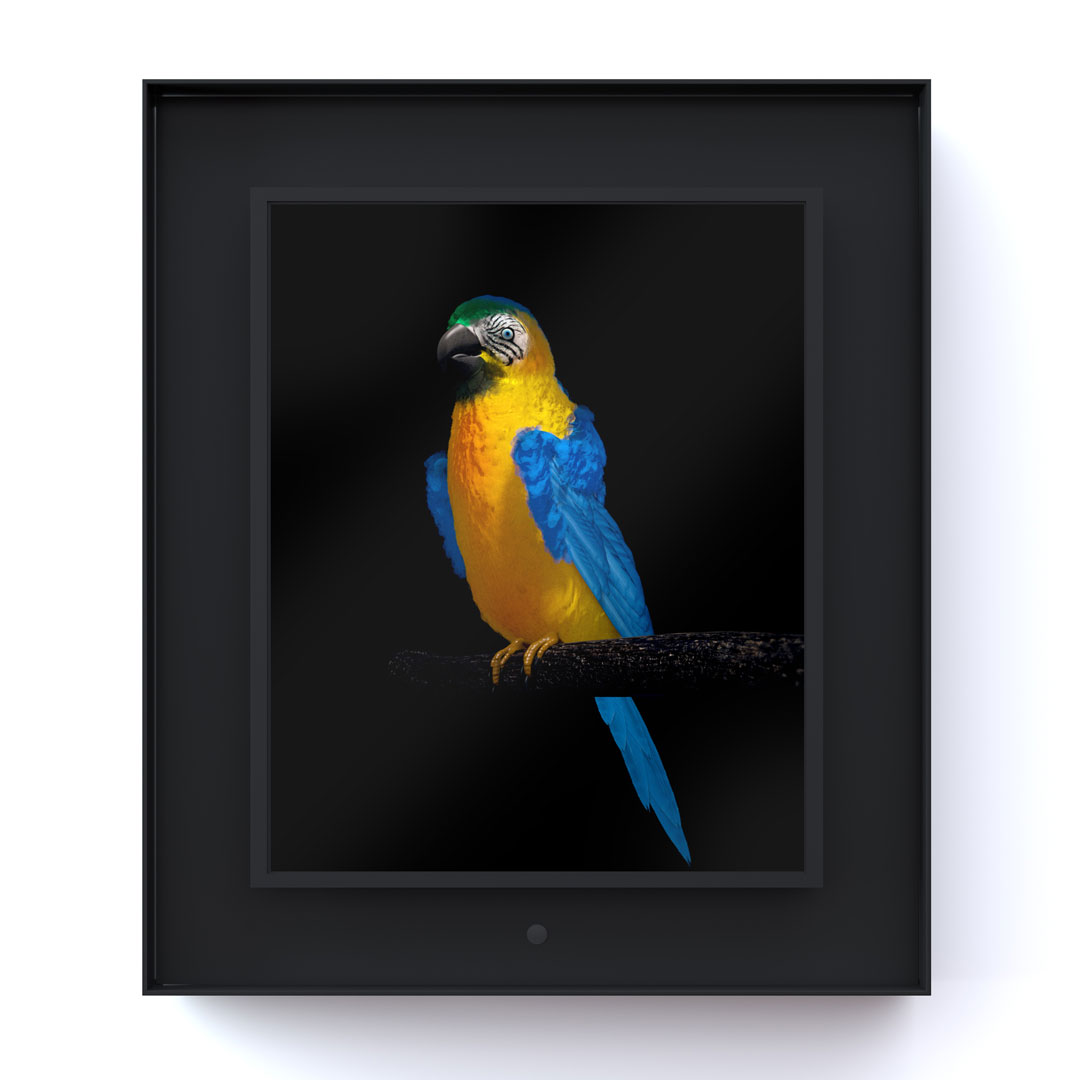 Ruffled: Blue and Yellow Macaw