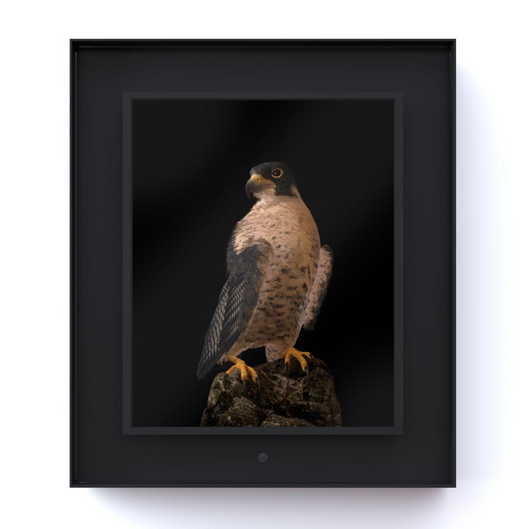 Ruffled: Peregrine Falcon