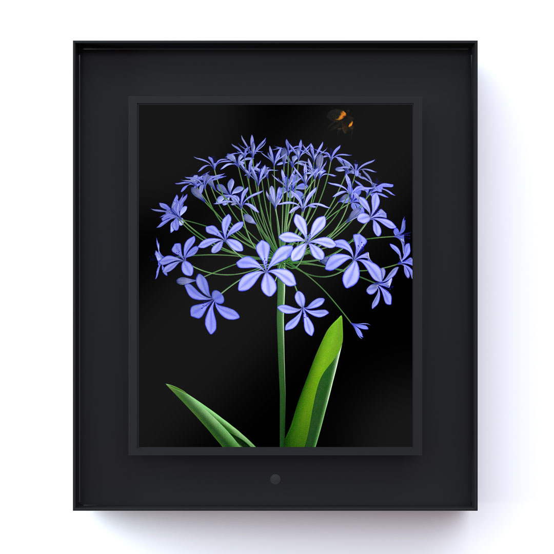 Bloomed: Agapanthus