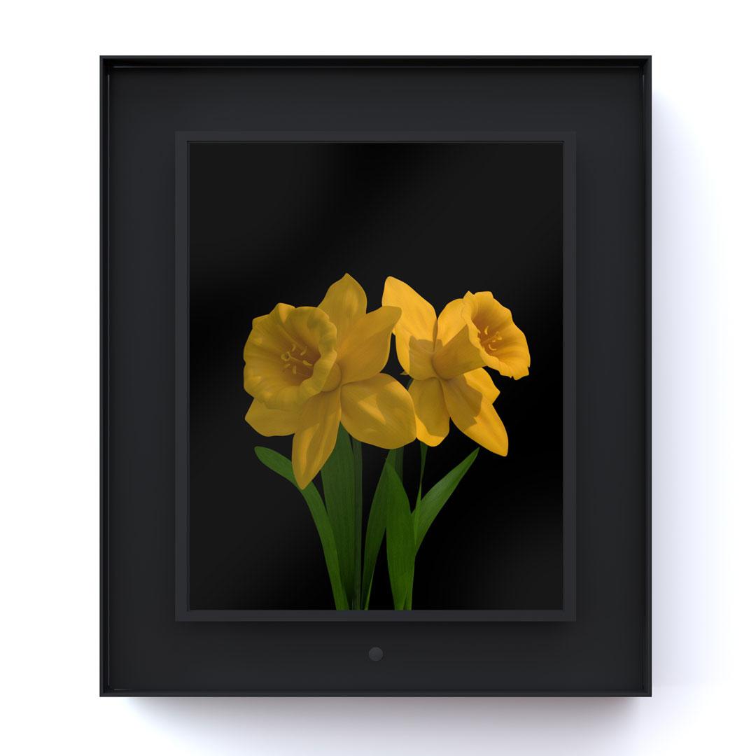 Bloomed: Daffodil
