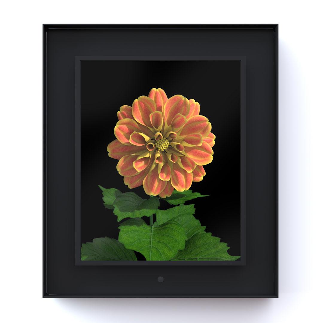 Bloomed: Dahlia