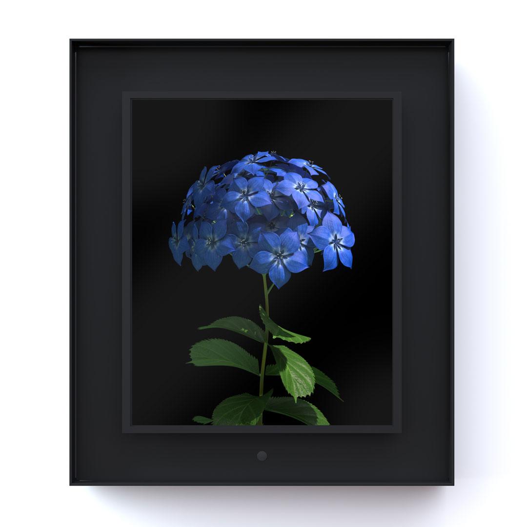 Bloomed: Hydrangea