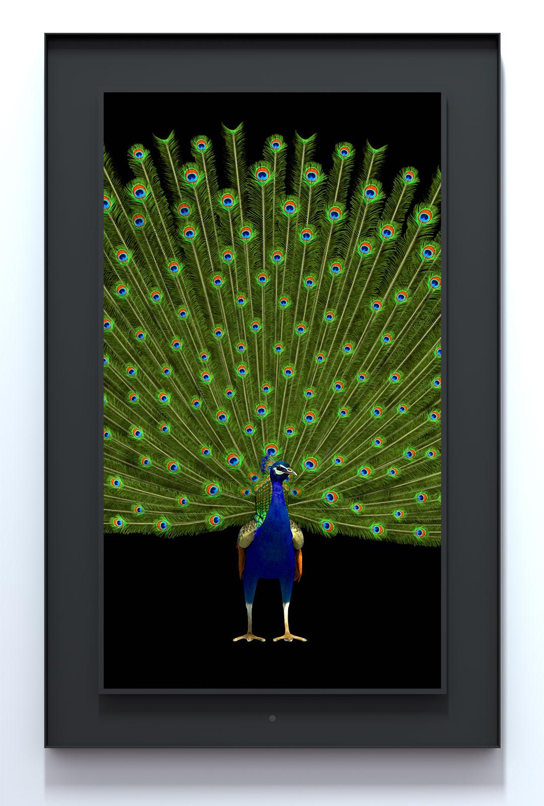 Ruffled: Indian Peafowl