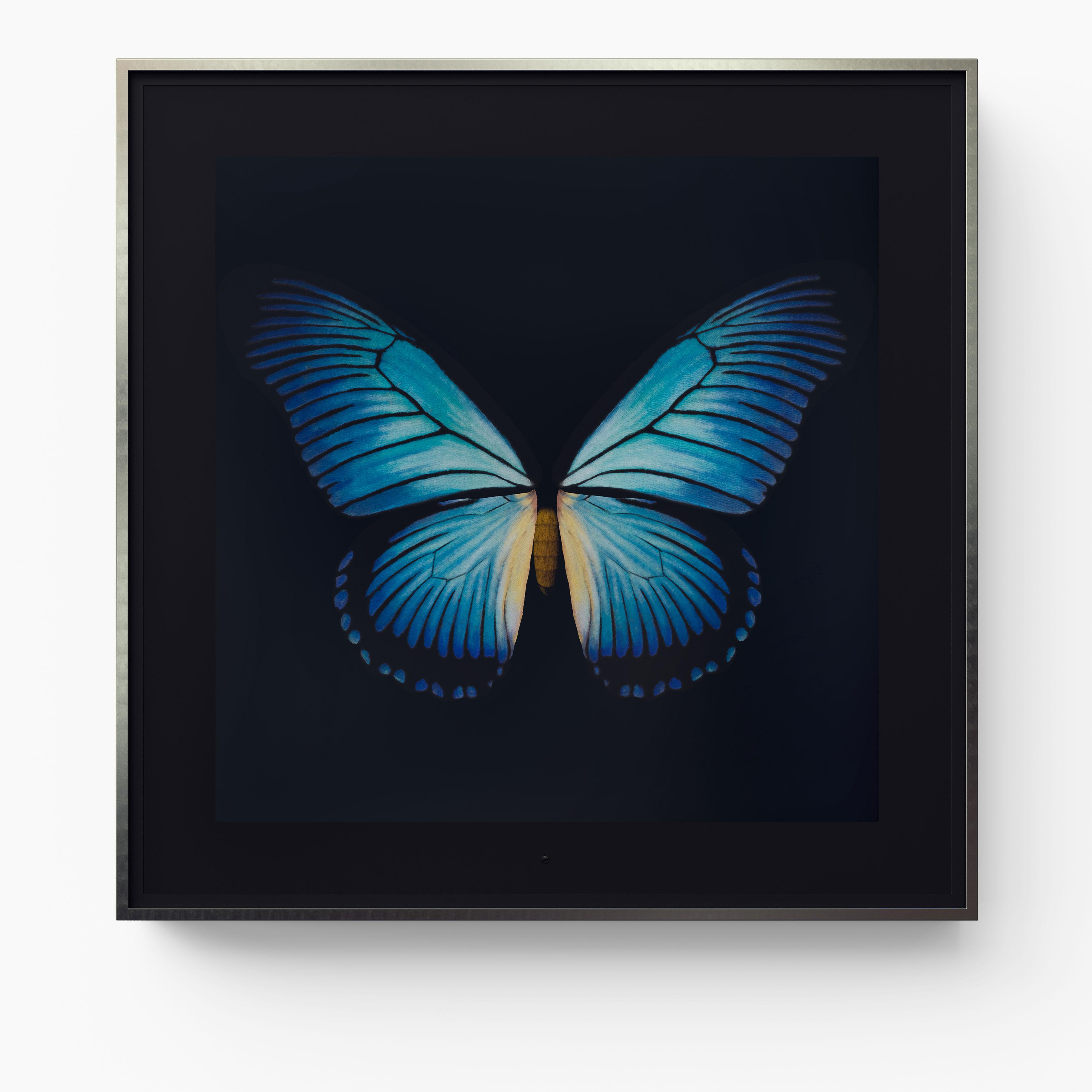 Metamorphosis: Solo - Giant Blue Swallowtail