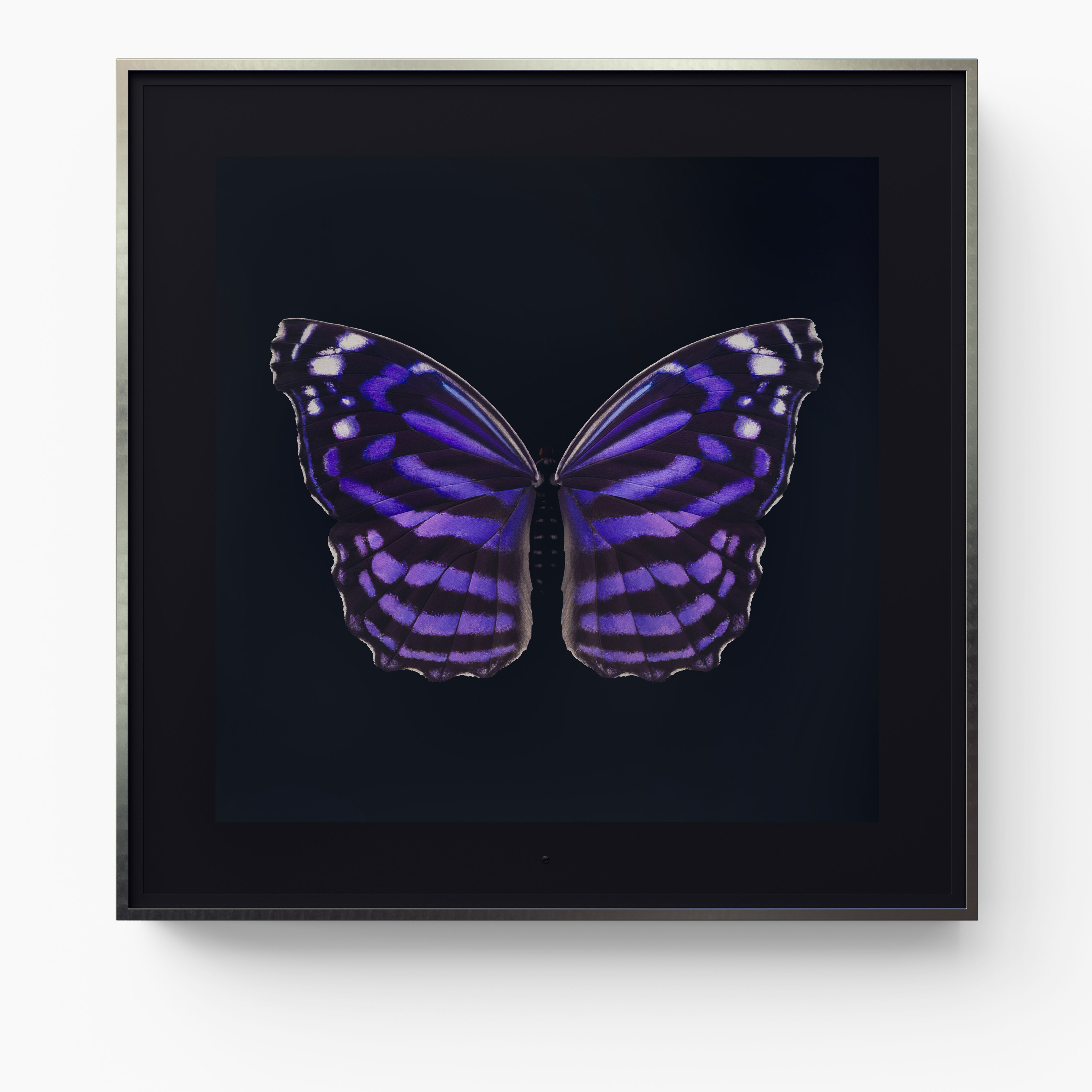 Metamorphosis: Solo - Mexican Bluewing
