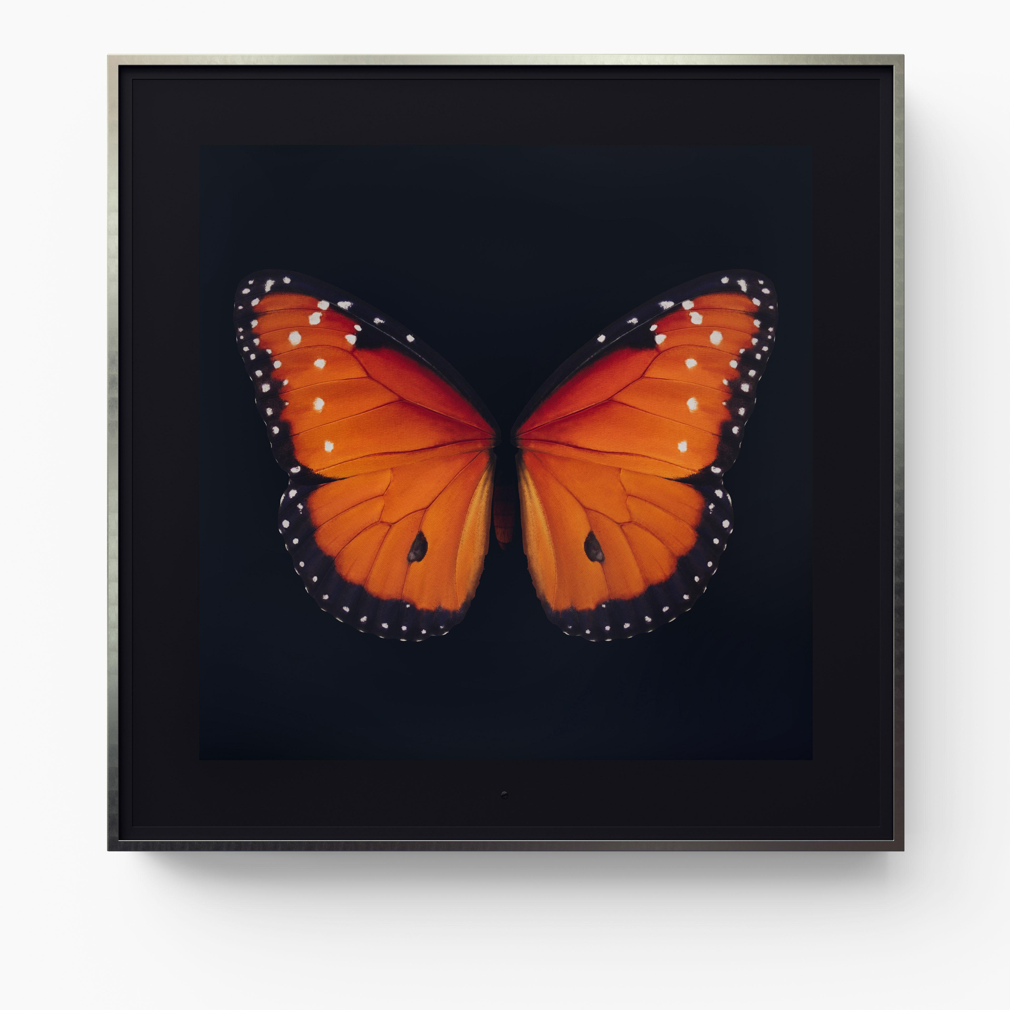 Metamorphosis: Solo - Queen Butterfly