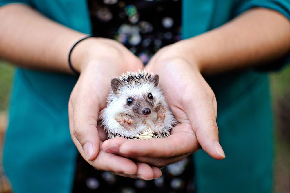 Hedgehog being held