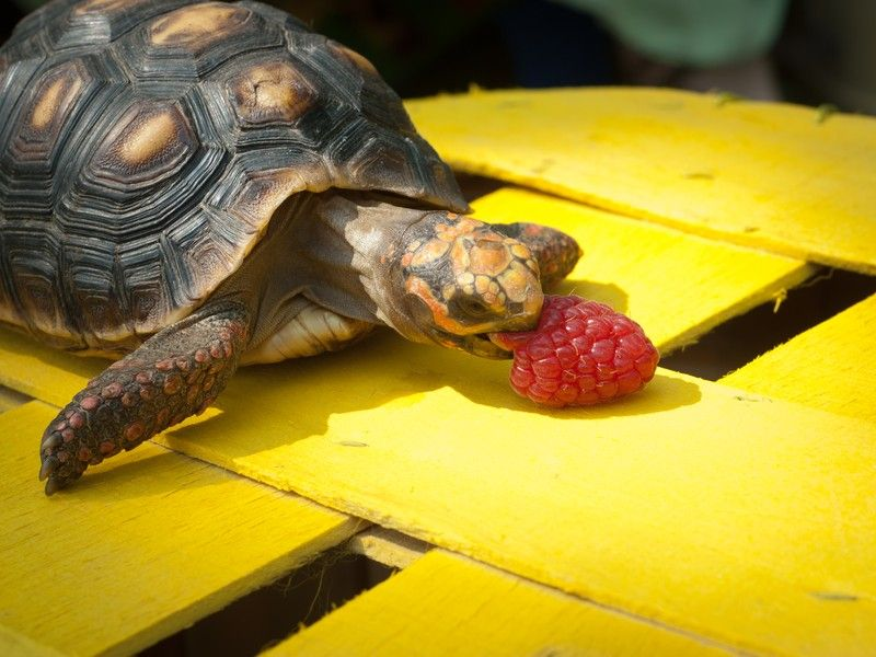 Tortoise eating a raspberry