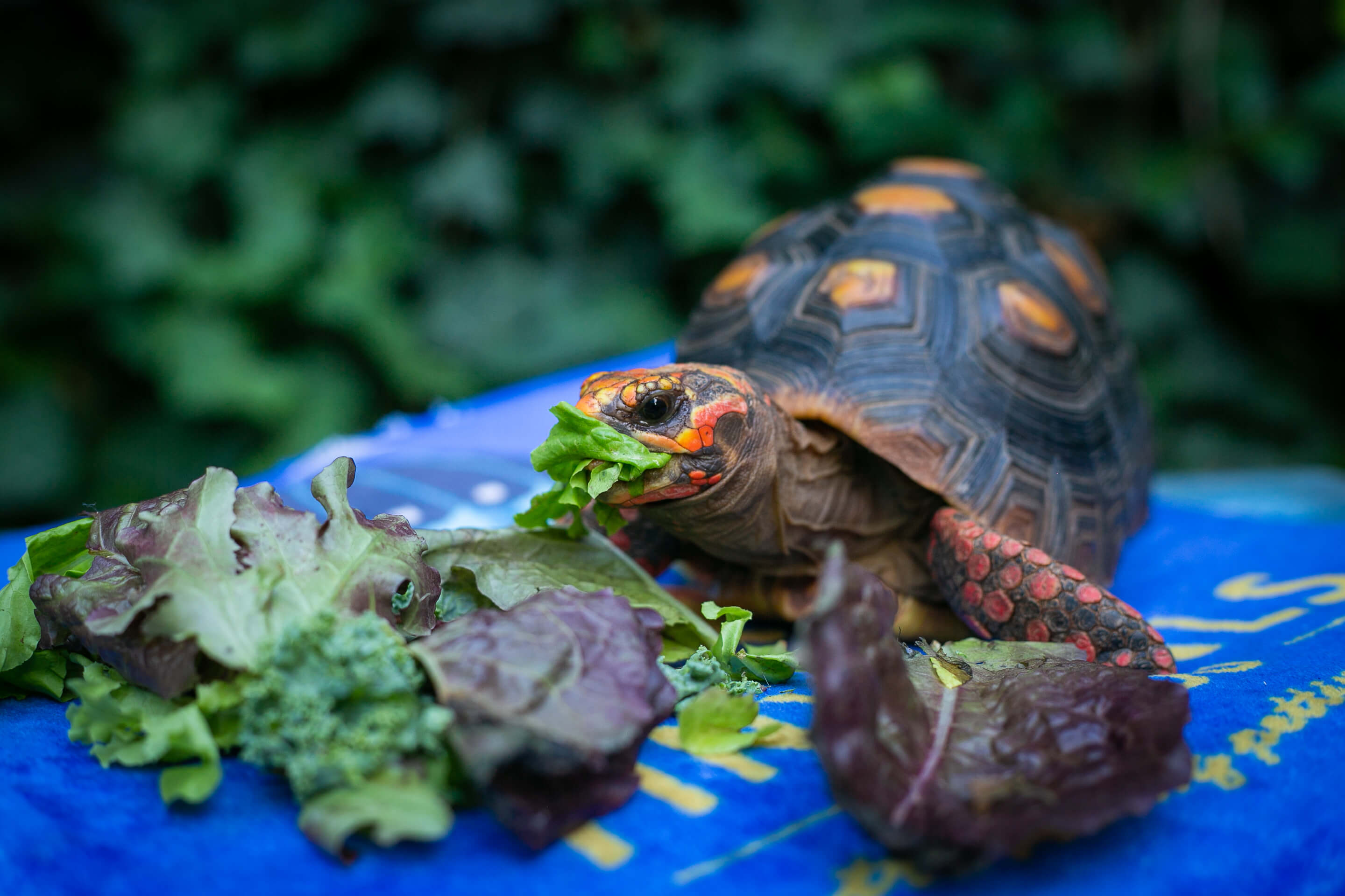 A tortoise eating lettuce.