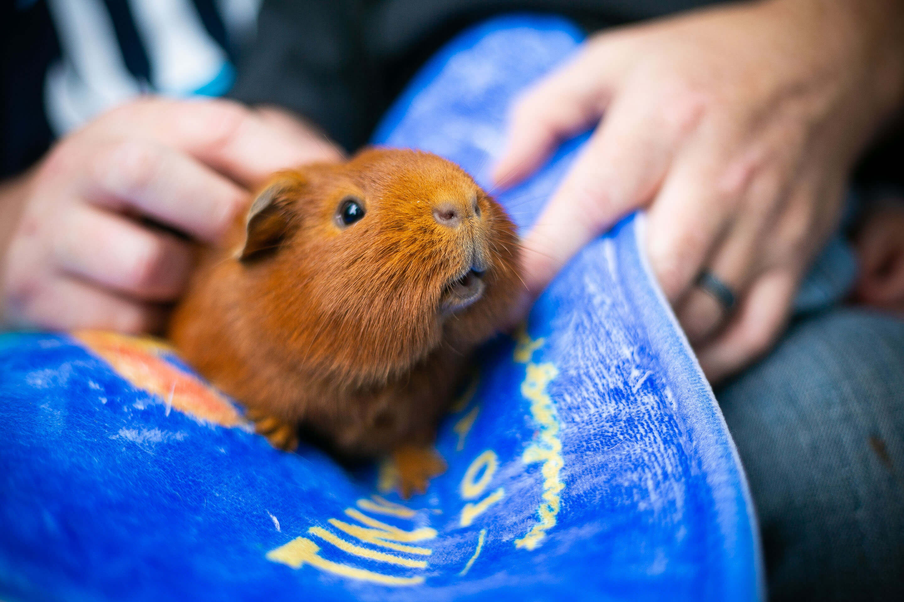 A guinea pig on a matt