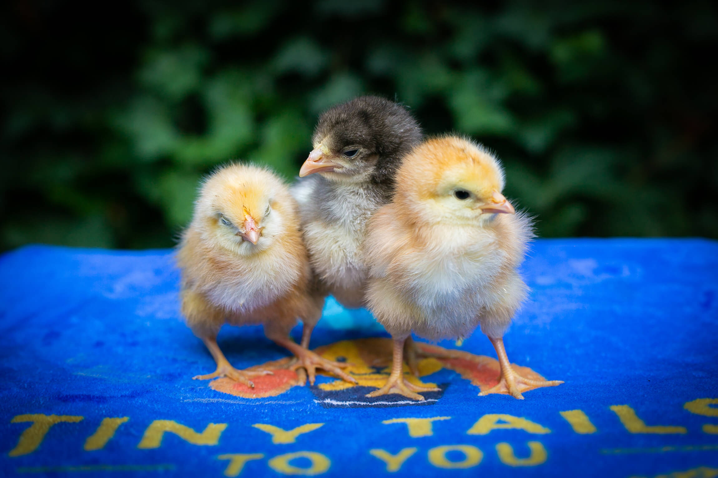Chicks on a mat
