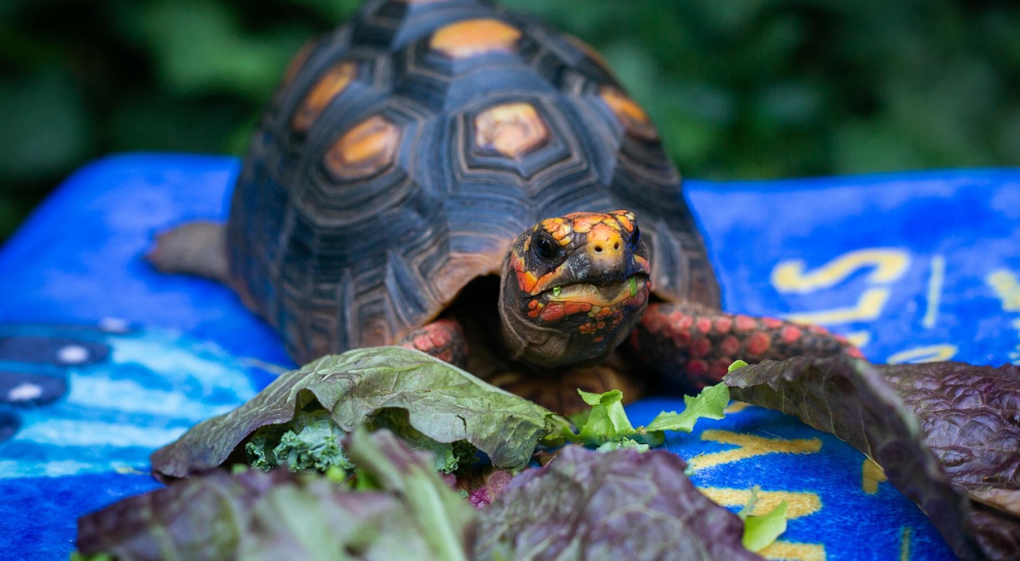 Draw a Tortoise