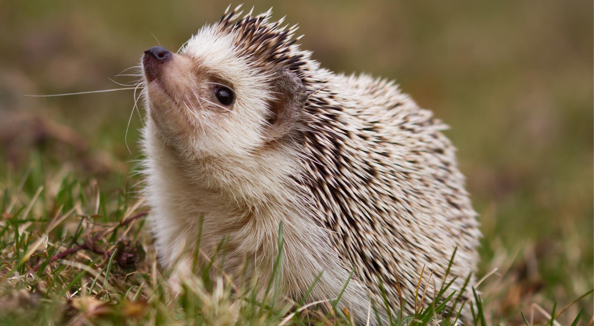 Draw a Hedgehog
