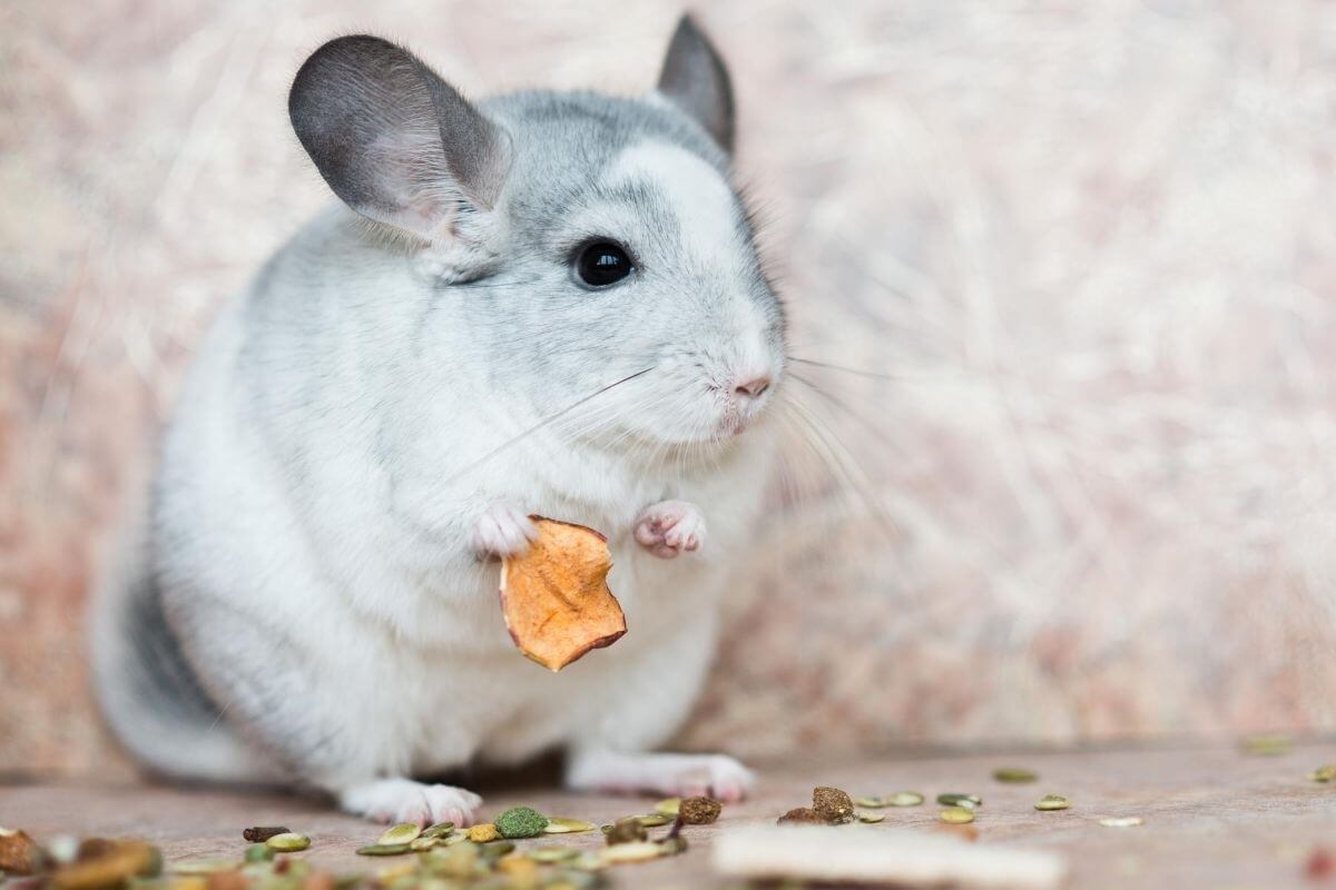 Chinchilla Yoga