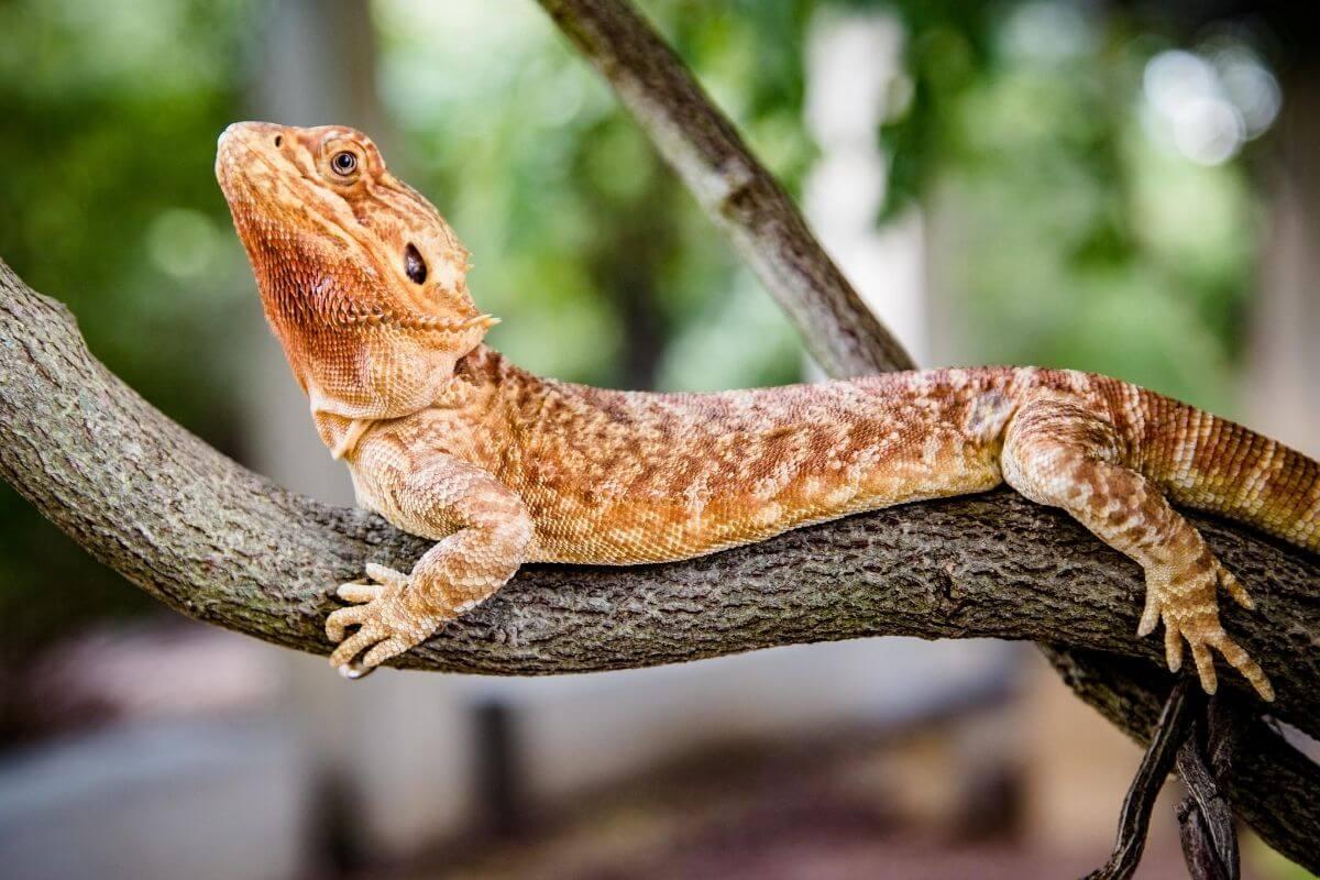 Bearded Dragon Yoga