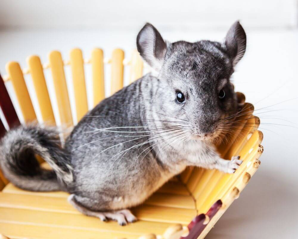 4 Things I Bet You Didn't Know About Chinchillas