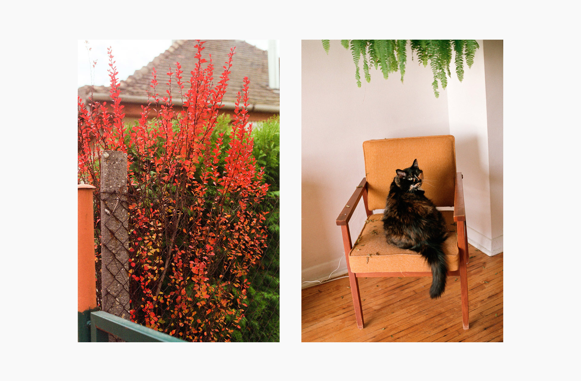 A diptych with an orange shrub on the left and a cat on an orange chair on the right.