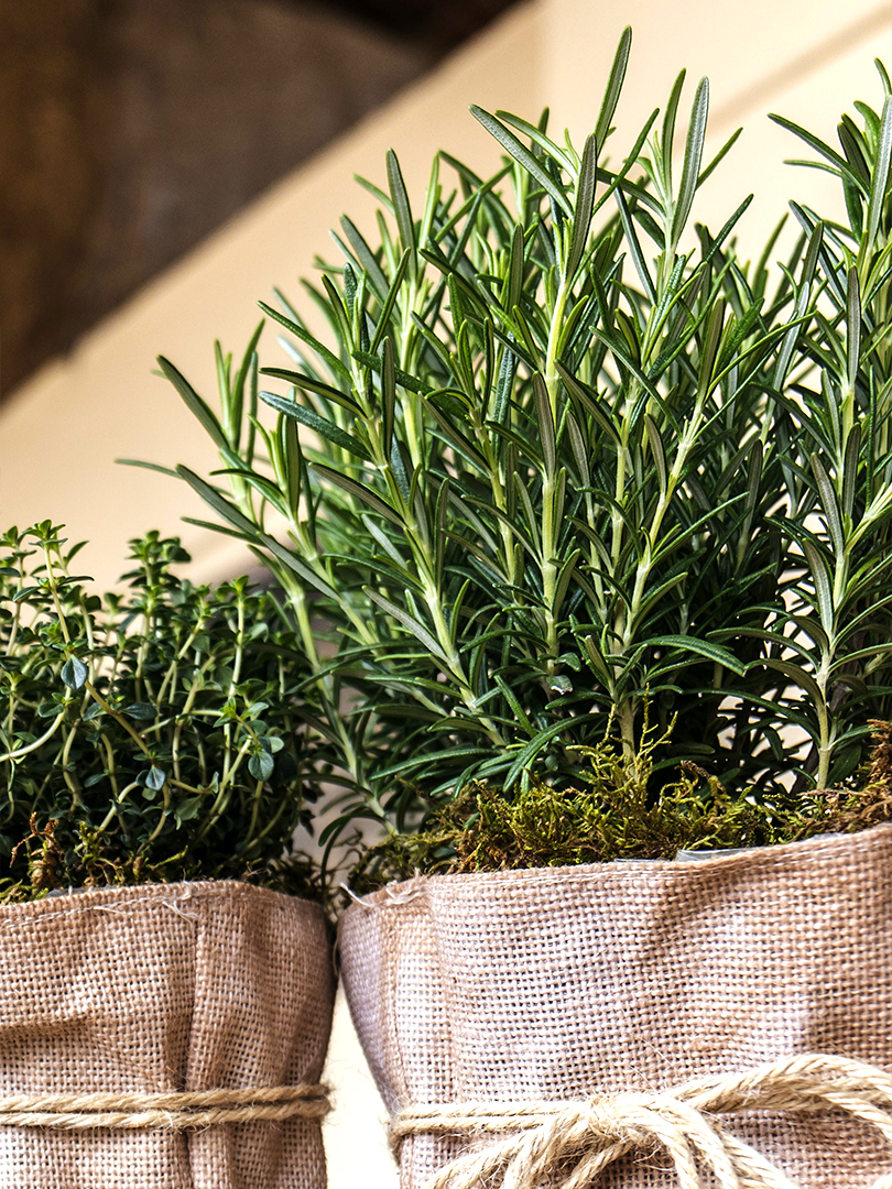 Healthy green rosemary plants potted in burlap covered pots with natural string ribbons.