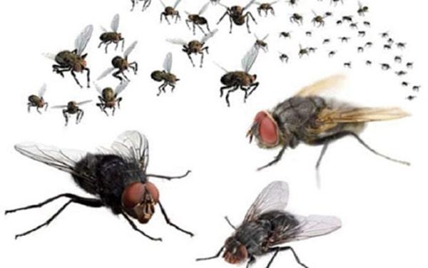 Dùng cửu lý hương đuổi ruồi