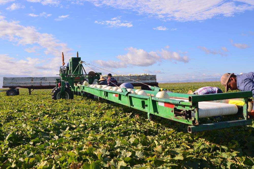 Field workers harvesting honey dew melons