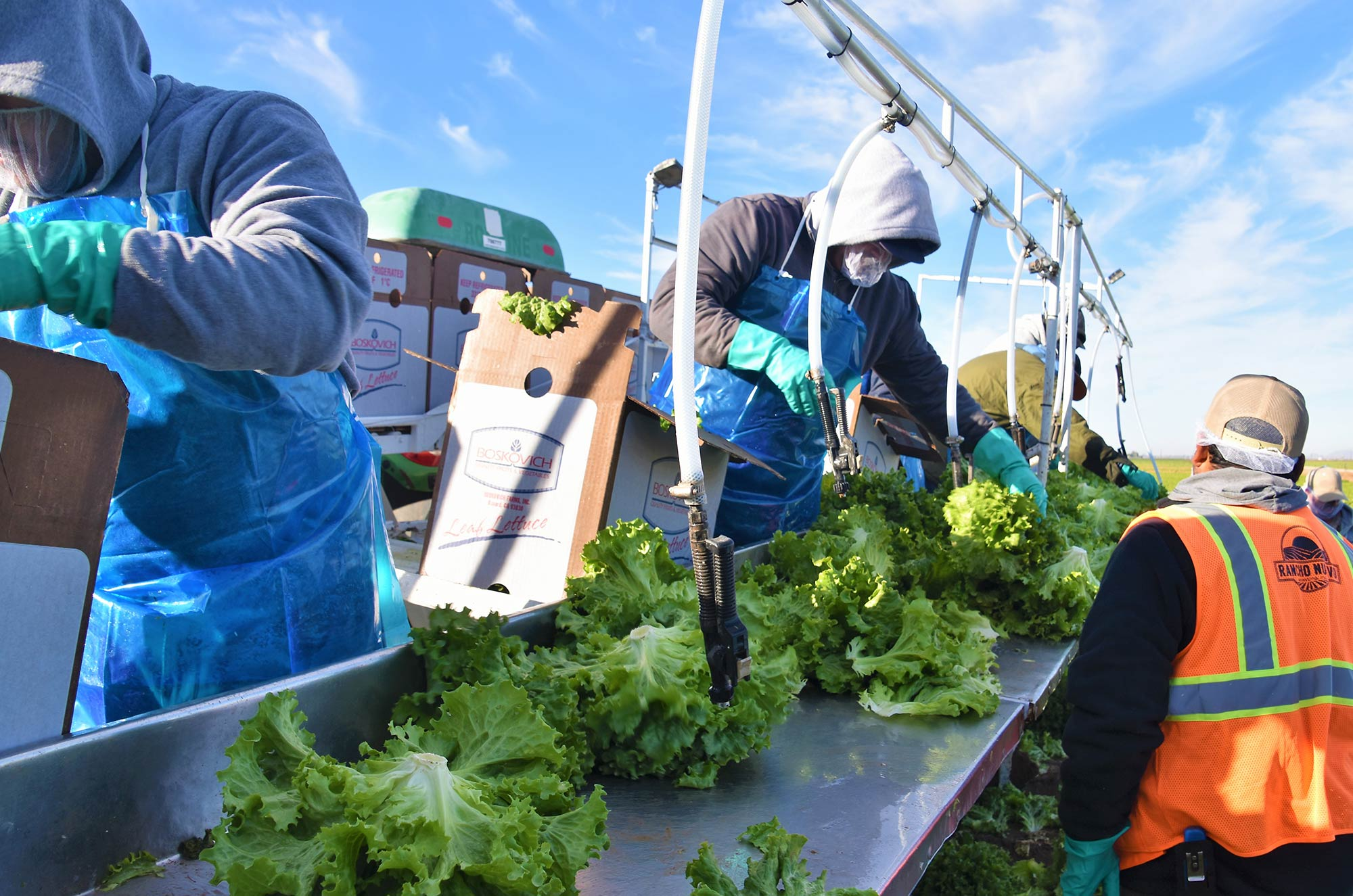 Field workers washing harvested lettuce