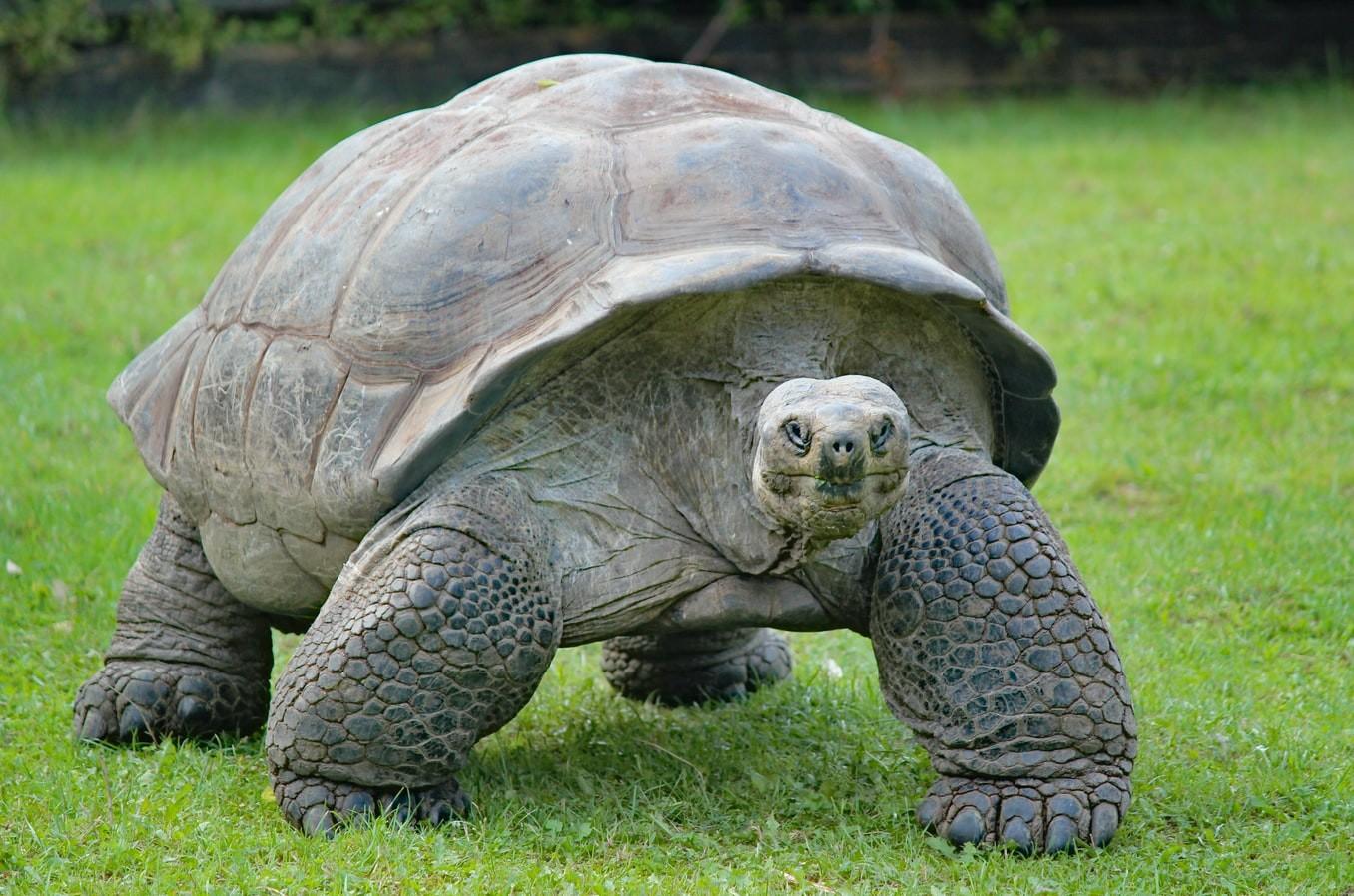 A large tortoise walking in grass. Photo courtesy of Joel M. Mathey on Unsplash.