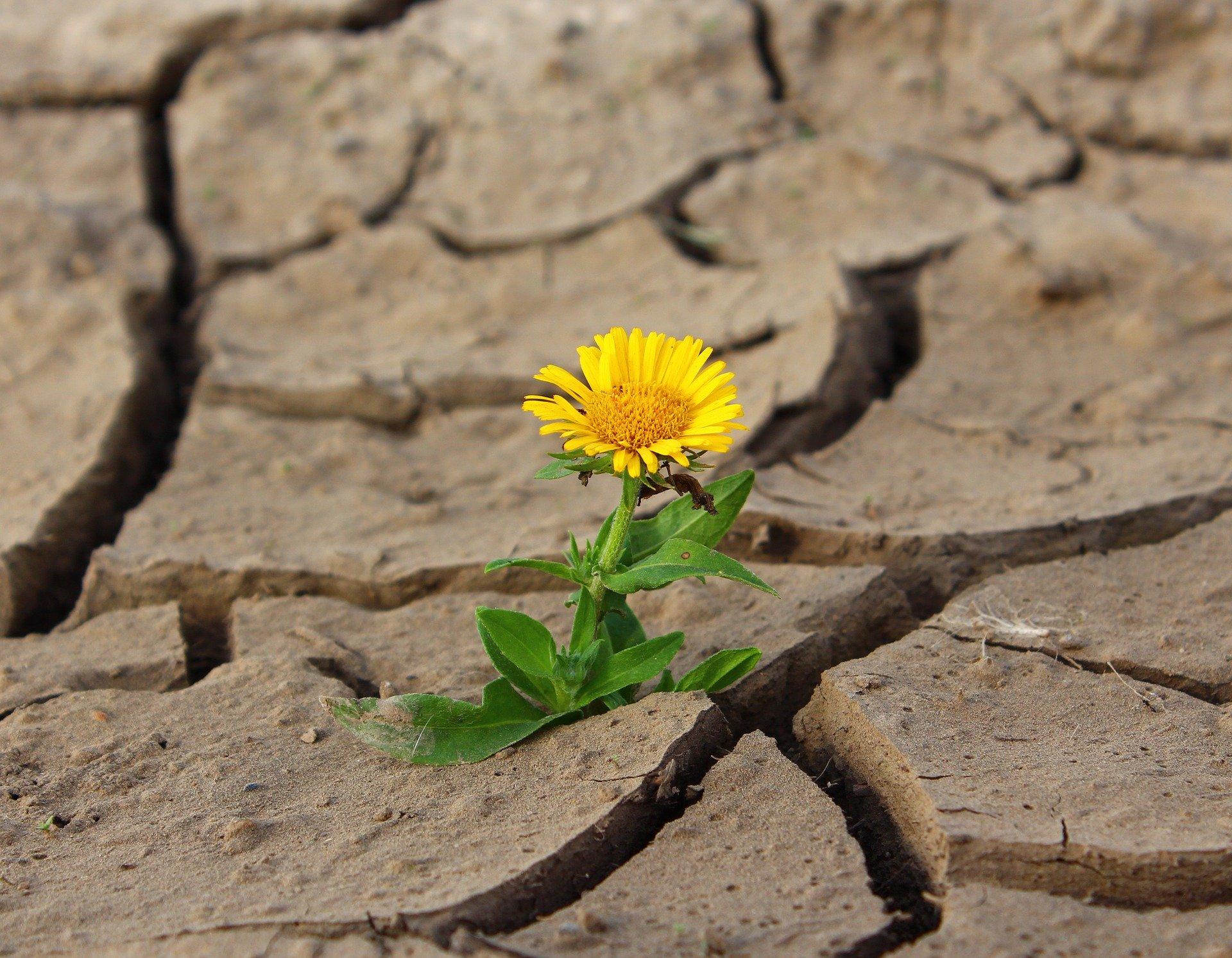 A yellow flower growing through cracks in the desert. Photo courtesy of Klimkin on Pixabay.