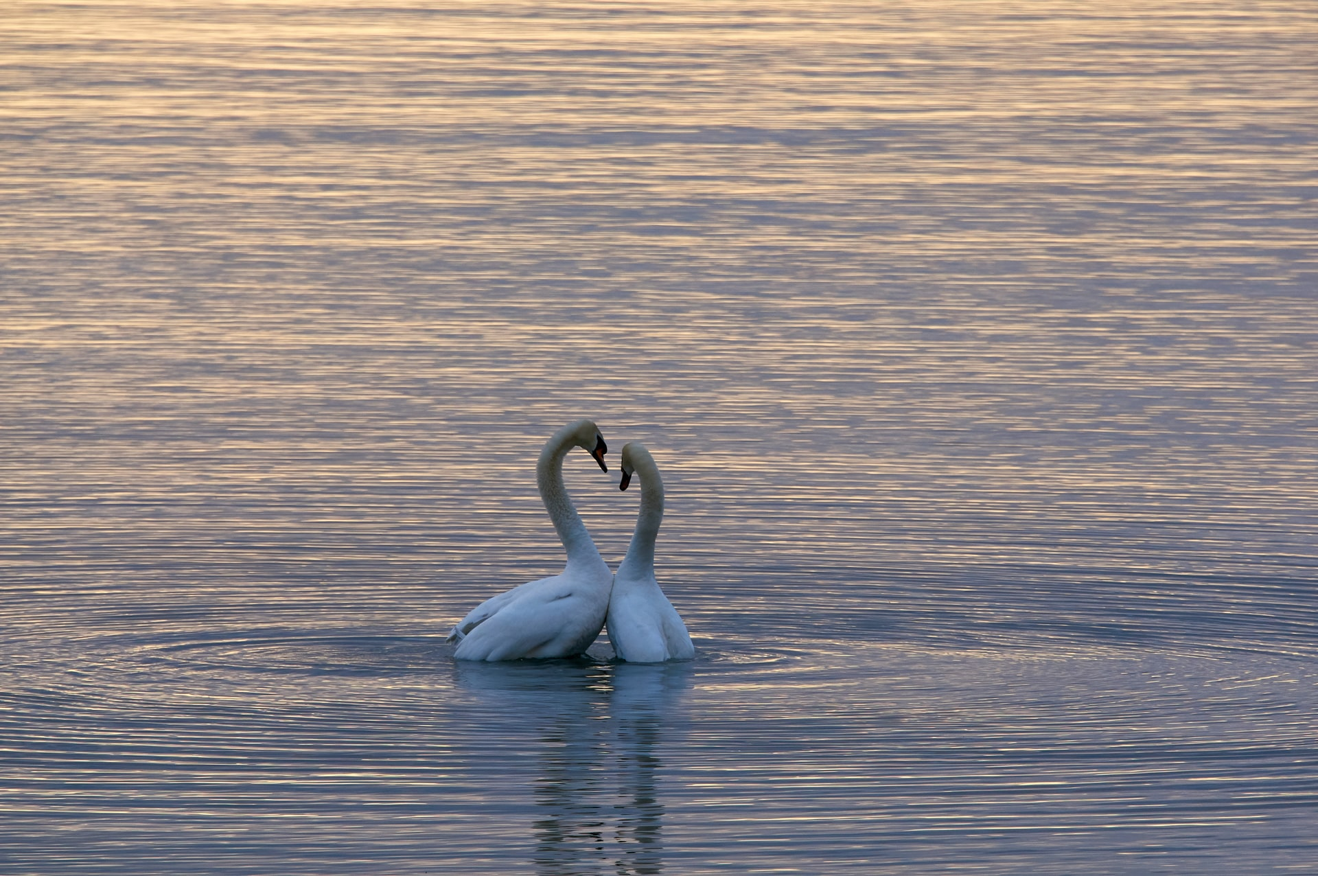 Two white swans in a body of water. Photo courtesy of Wolfgang Hasselmann on Unsplash.