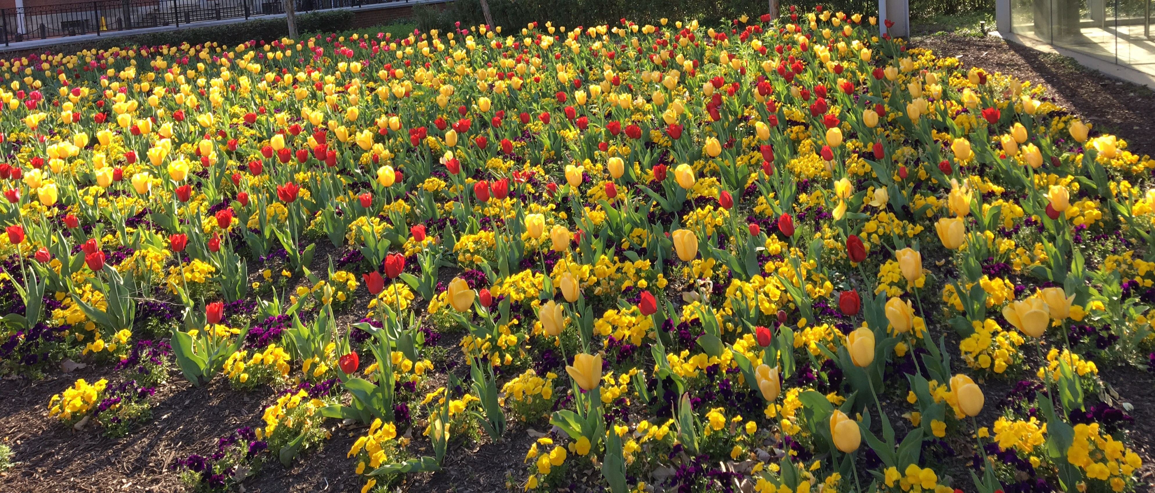Photo of red and yellow tulips outside, courtesy of Mabel Chen.