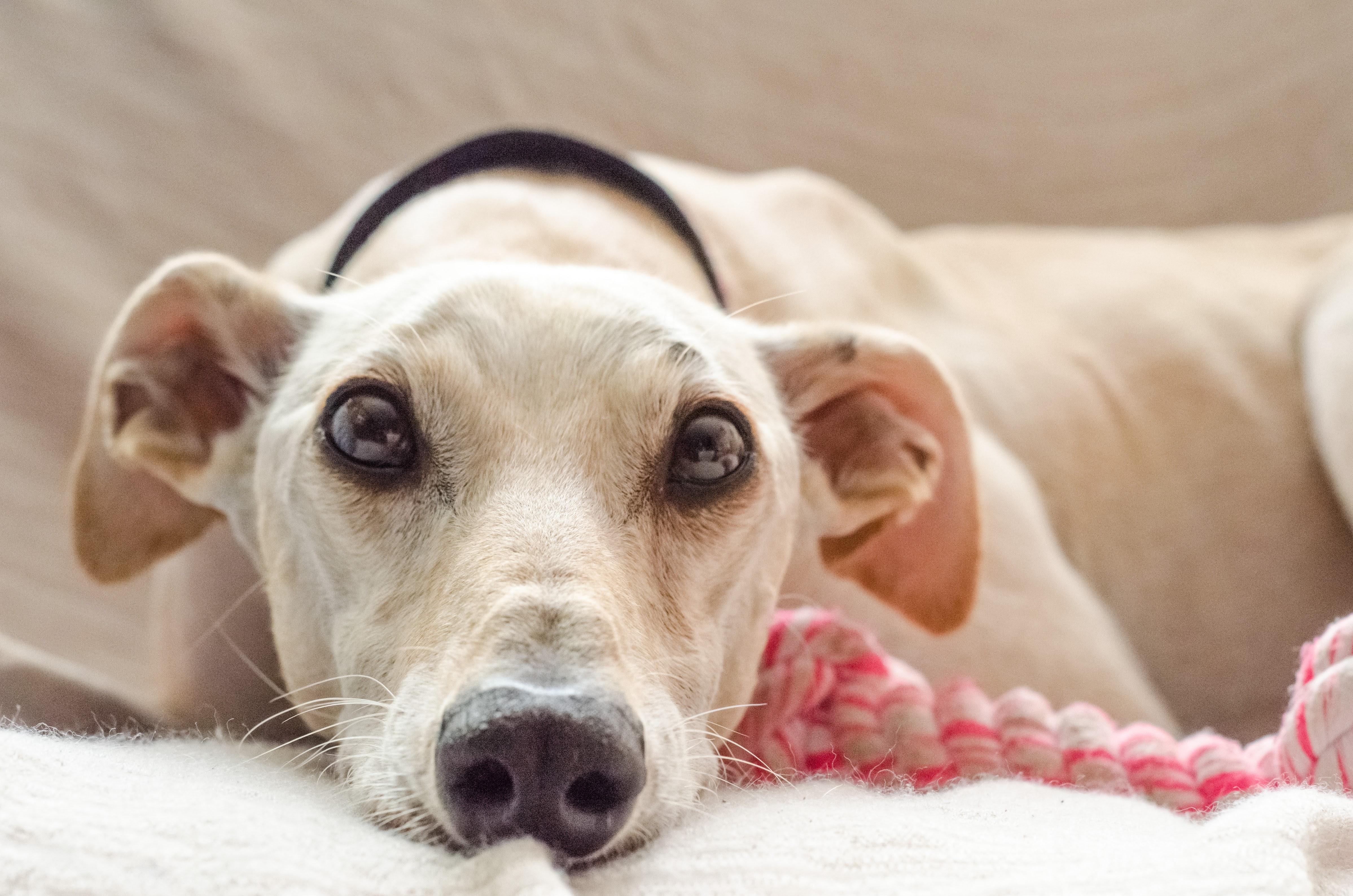 Photo of a beige dog laying down. Image courtesy of Juan Gomez via Unsplash.