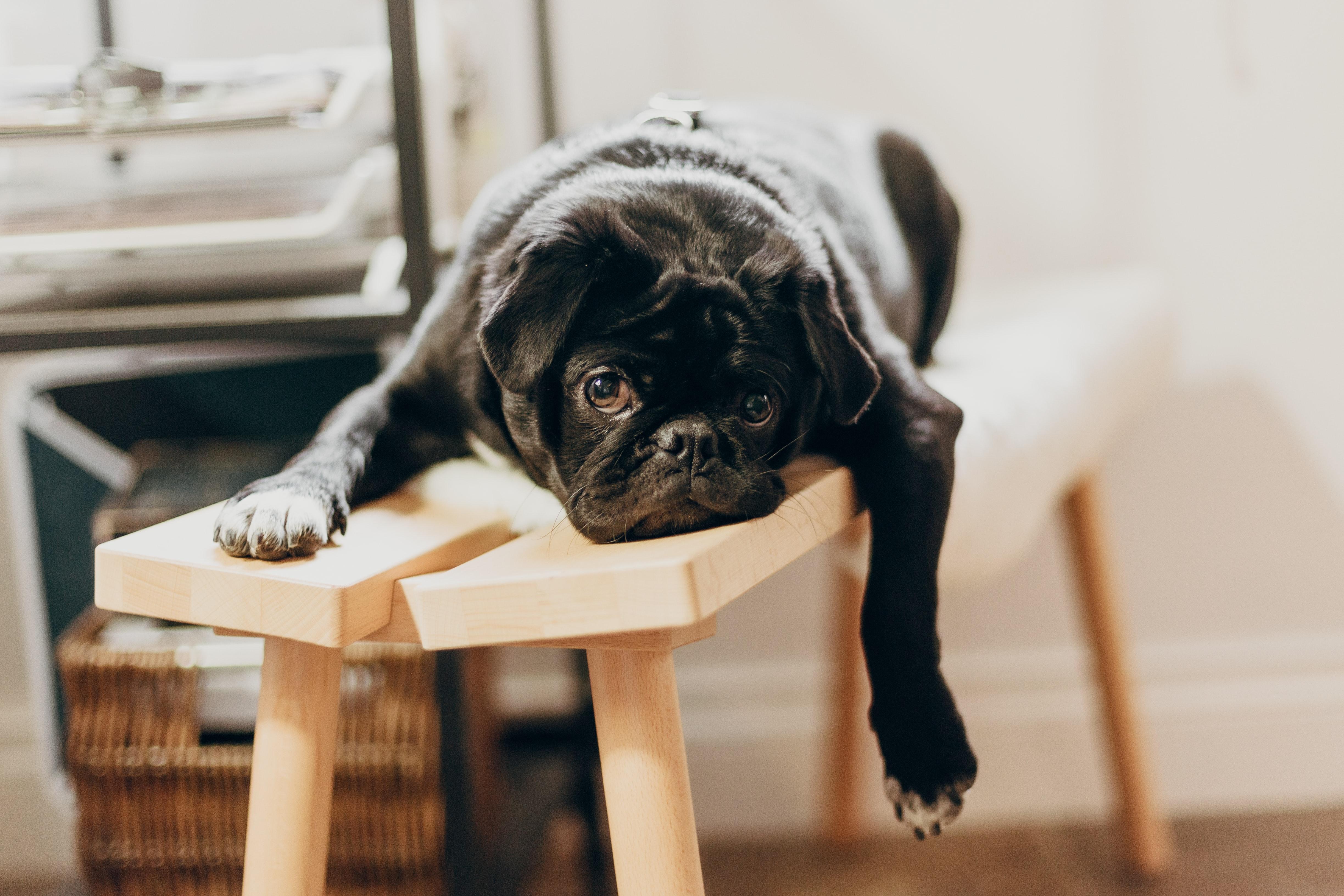 Photo of a black pug sitting on a stool. Image courtesy of Priscilla Du Preez via Unsplash.