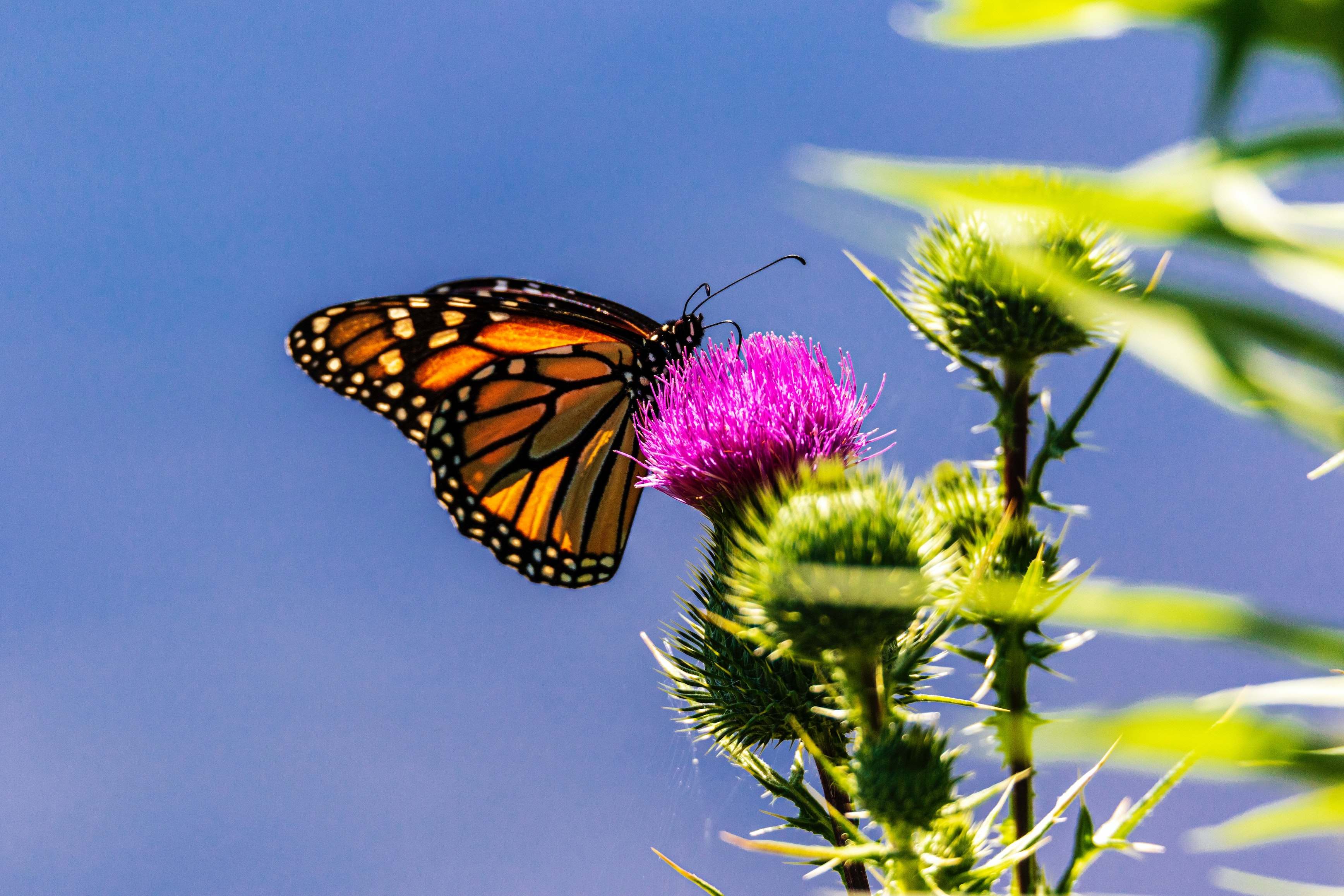 A monarch butterfly on a pink flower, against a blue sky. Photo courtesy of Camerauthor on Unsplash.