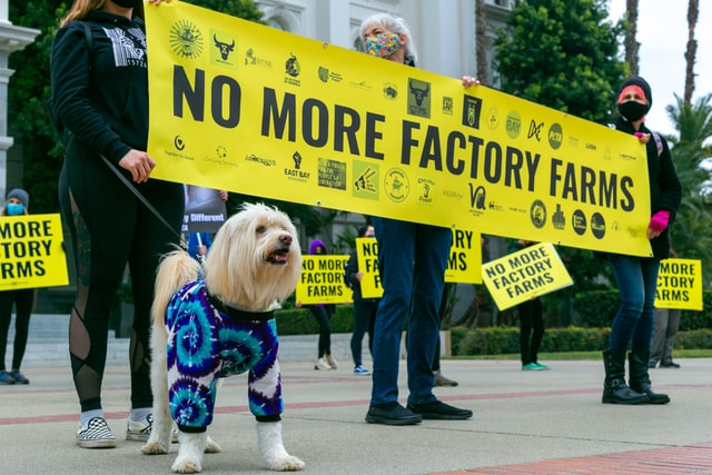 "Small white dog with long hair in a tie-dye shirt stands in front of a protest line, where people hold signs that read ""NO MORE FACTORY FARMS."" Photo courtesy of Jorge Maya on Unsplash."