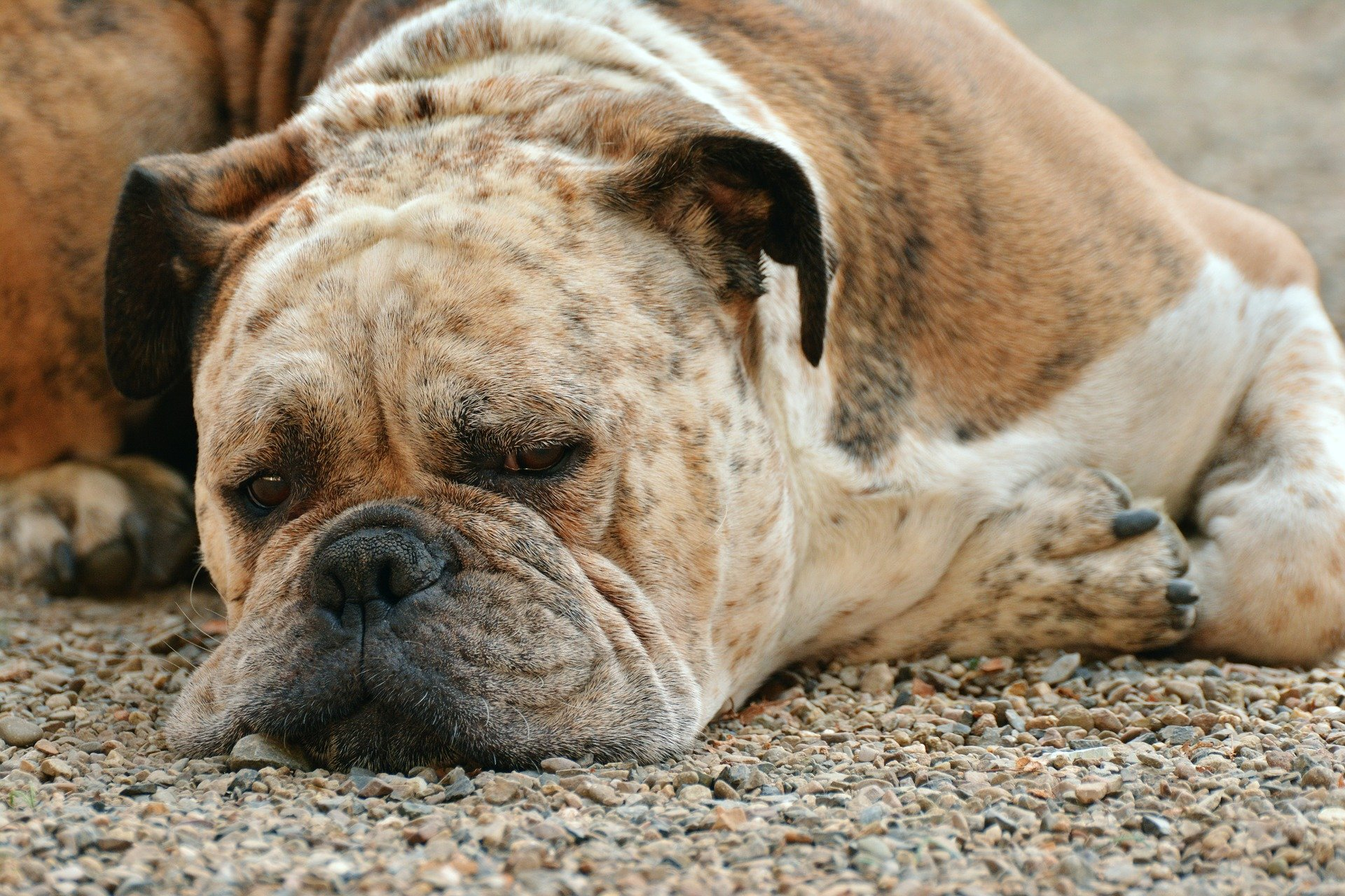 Photo of a dog laying down with a mopey face. Image courtesy of @congerdesign via Pixabay.