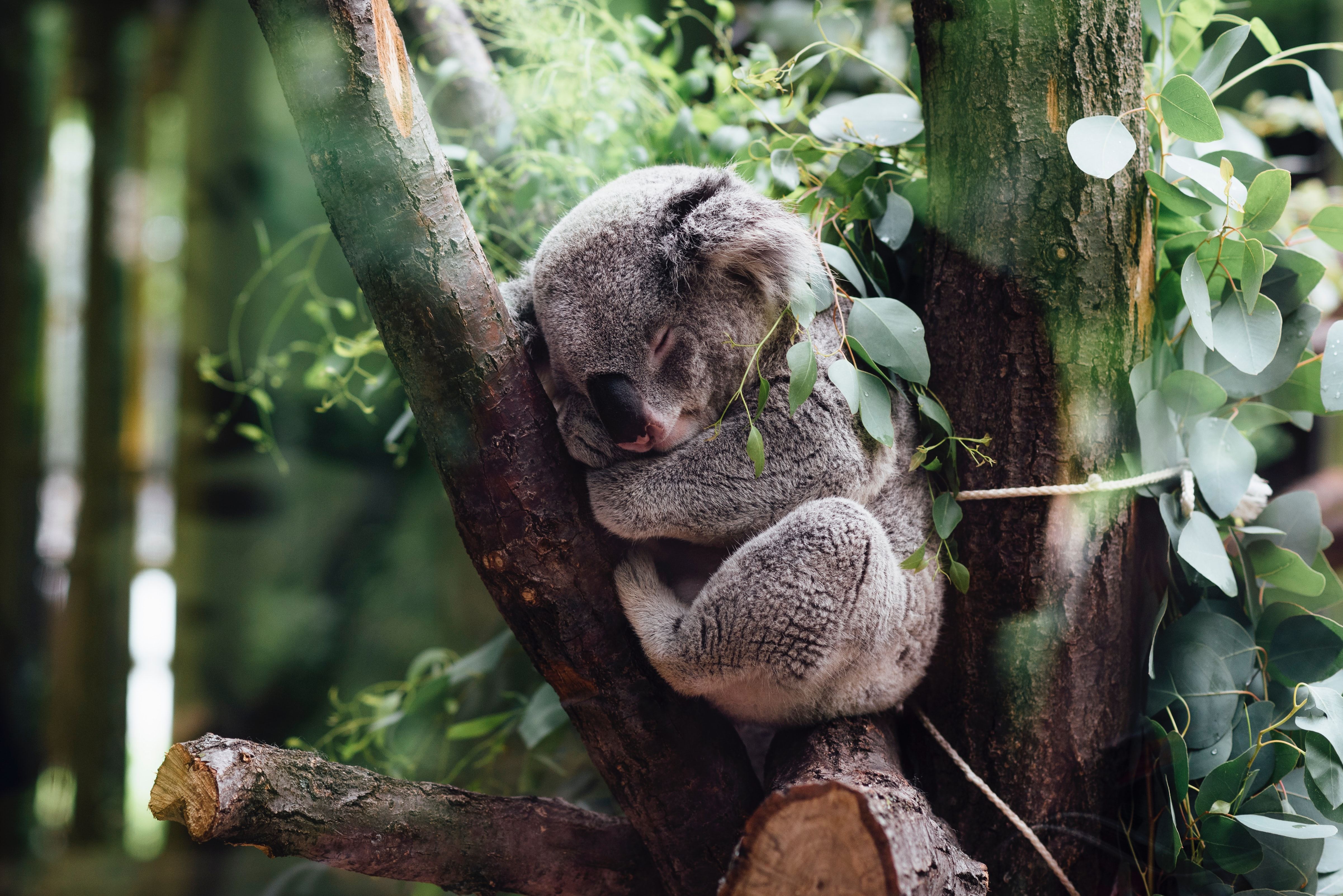 A koala sleeps in a tree. Photo courtesy of Jordan Whitt on Unsplash.