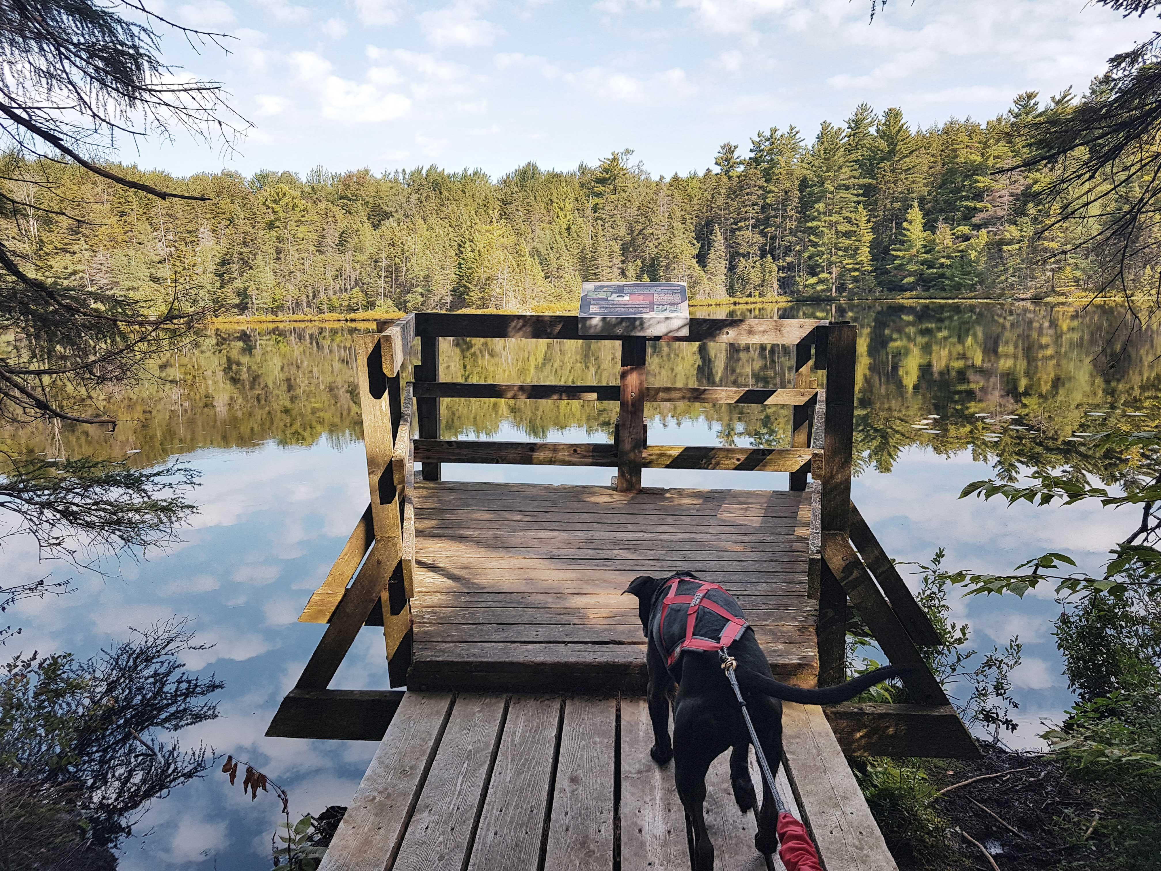 Enzo marche sur une plateforme de bois qui se trouve sur un étang. L'étang est entouré d'arbres. Enzo porte son harnais de canicross rouge.