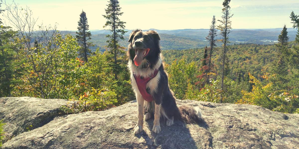 Rina, la Border Collie grise et blanche, pose fièrement sur un rocher. Le paysage forestier se déploie derrière elle.
