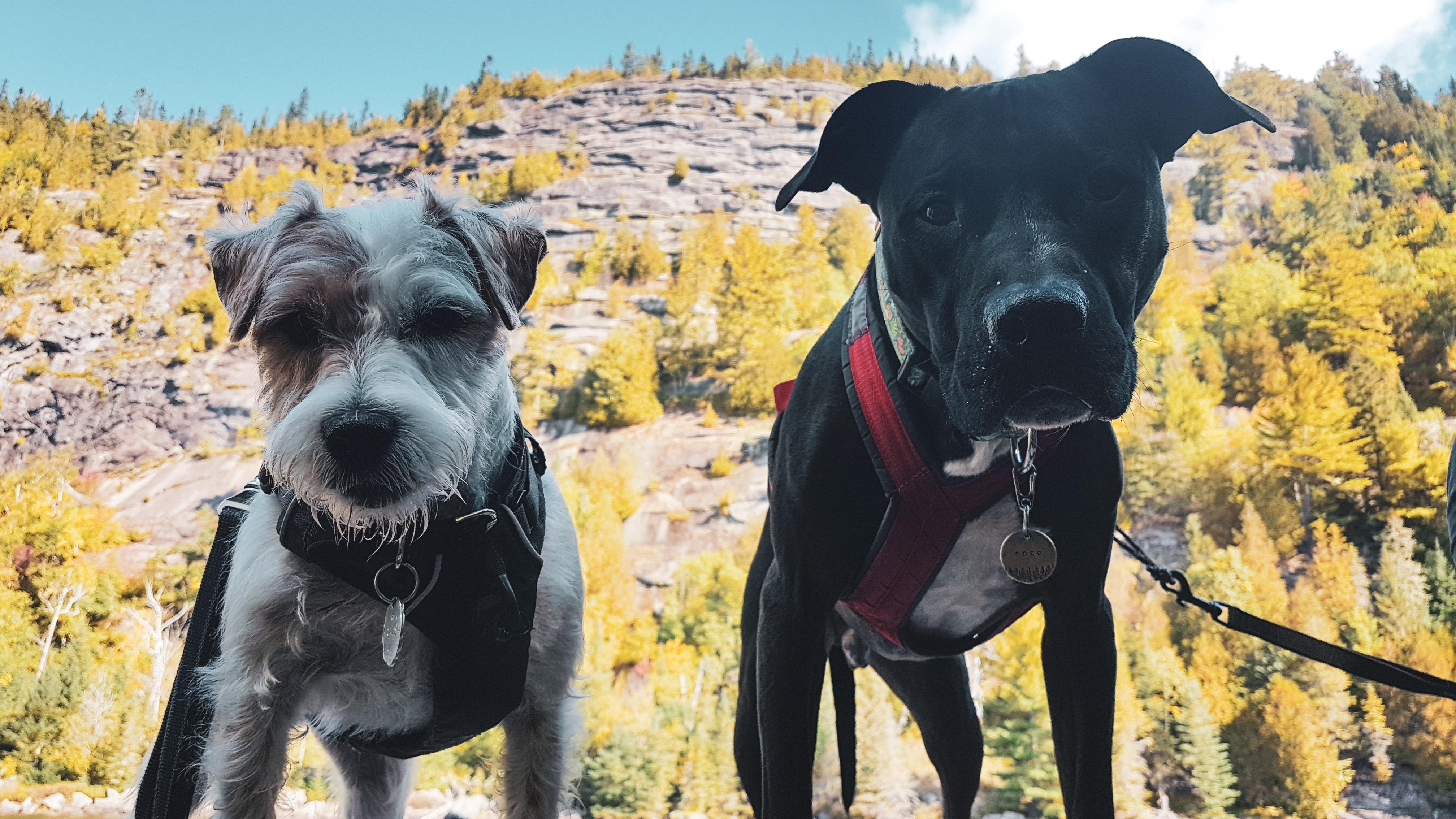 Deux chiens devant un mur rocheux