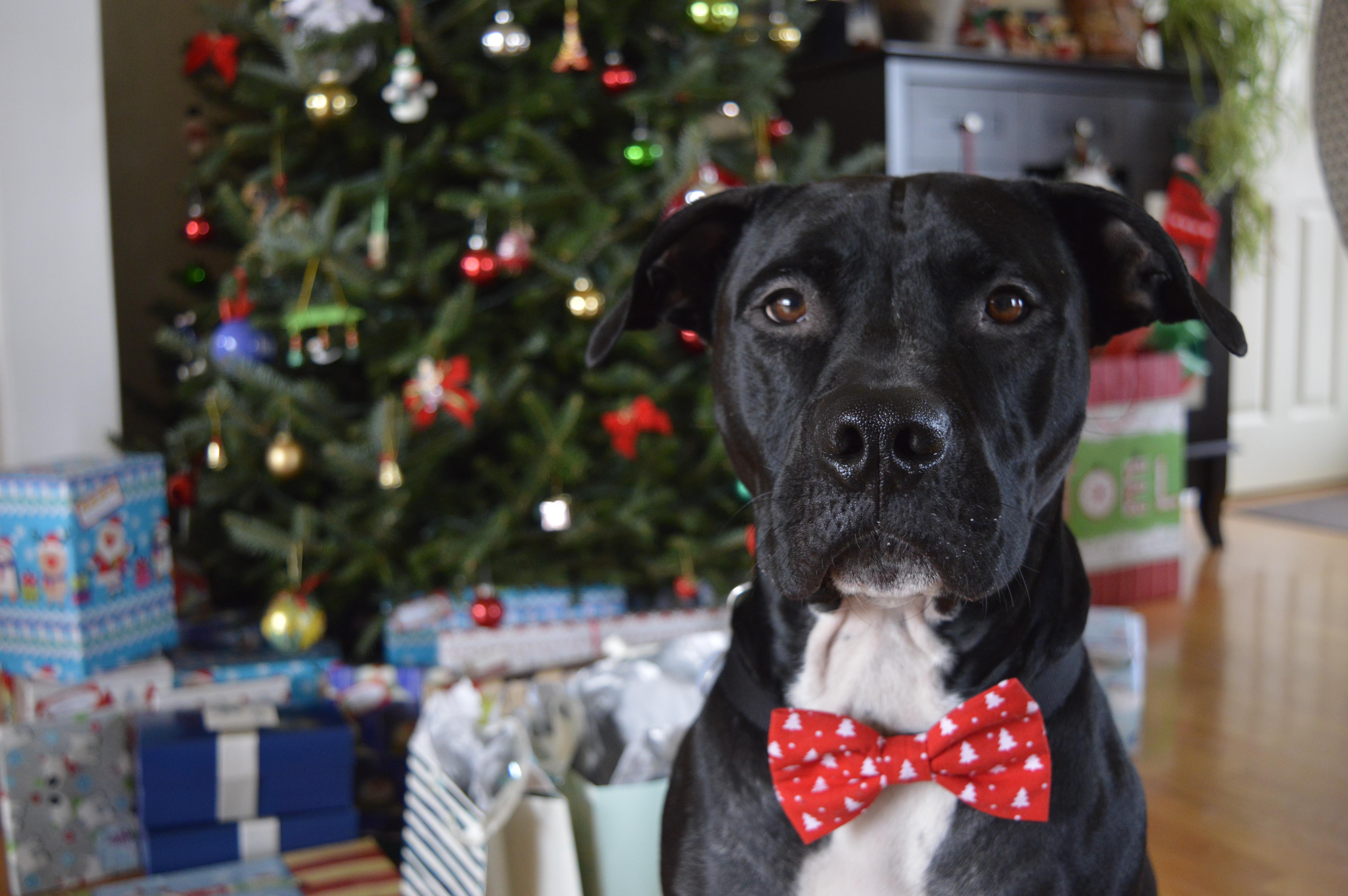 Enzo regarde la caméra. Il porte un noeuf papillon rouge et se trouve devant un sapin de Noël décoré avec des cadeaux emballés sous ce dernier.