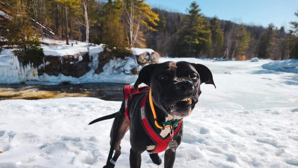 Enzo est en premier plan. Derrière lui se trouve une rivière partiellement gelée et une forêt. Il est en train d'éternuer et sa babine est relevée à droite. Il porte un collier orange et bleu et son harnais de canicross rouge.