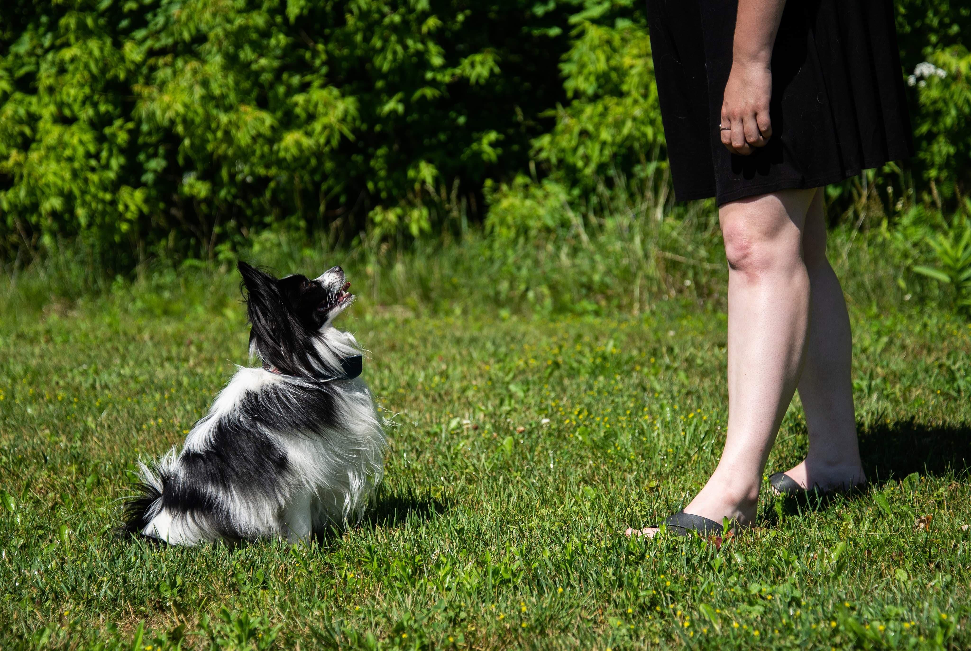 Harry, l'épagneul papillon noir et blanc est assis et regarde sa propriétaire donc on ne voit que les jambes.