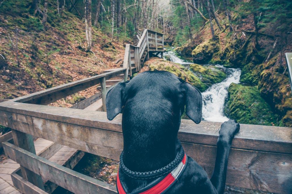 Enzo est dos à la caméra. Il a les deux pattes avant sur la rambarde d'un petit pont de bois. Il est orienté vers le ruisseau qui sillonne la forêt derrière.